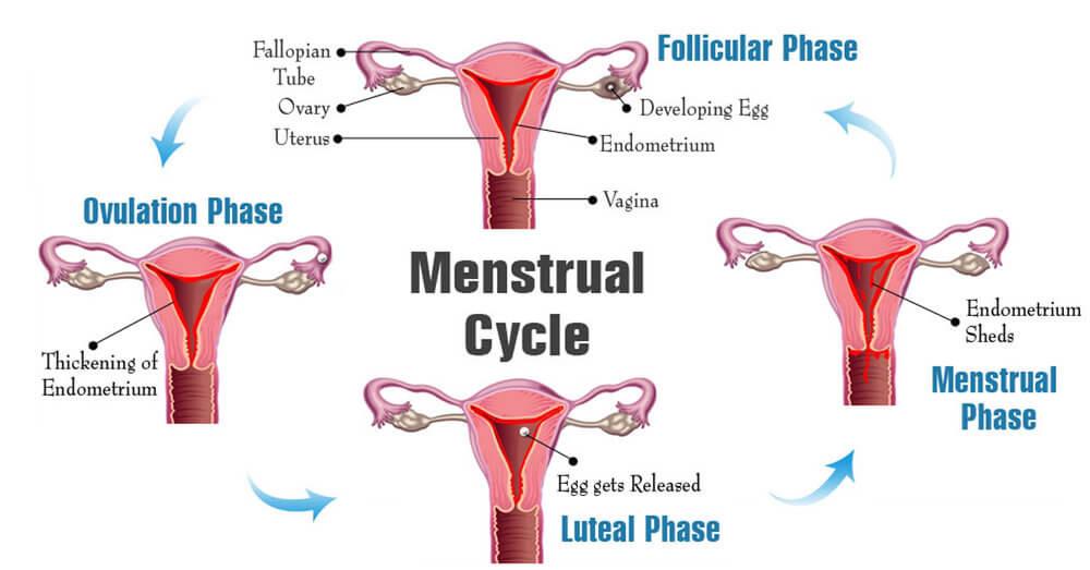 Четыре фазы менструального цикла